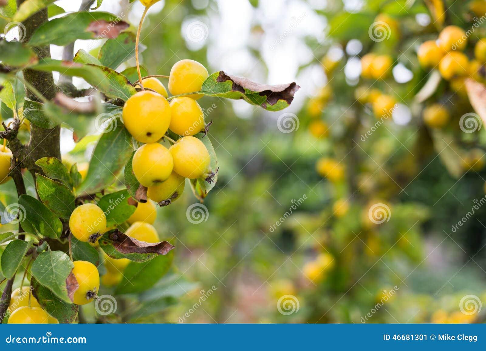 träd med gula bär