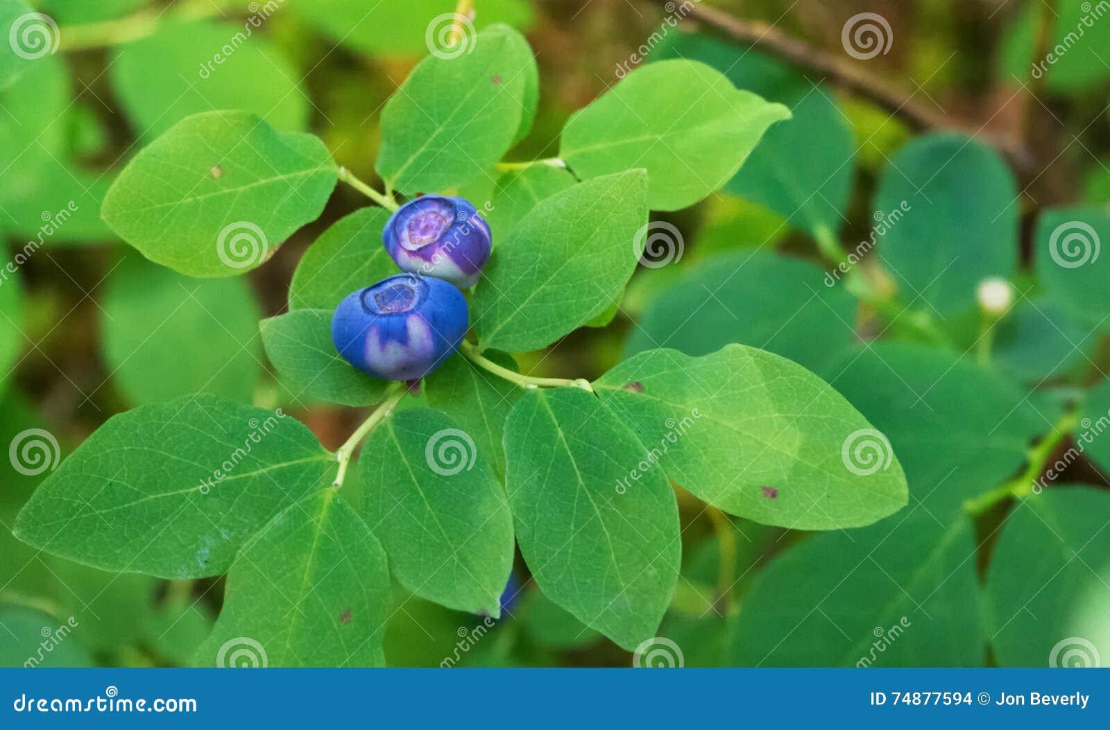 Bagas azuis selvagens de amadurecimento