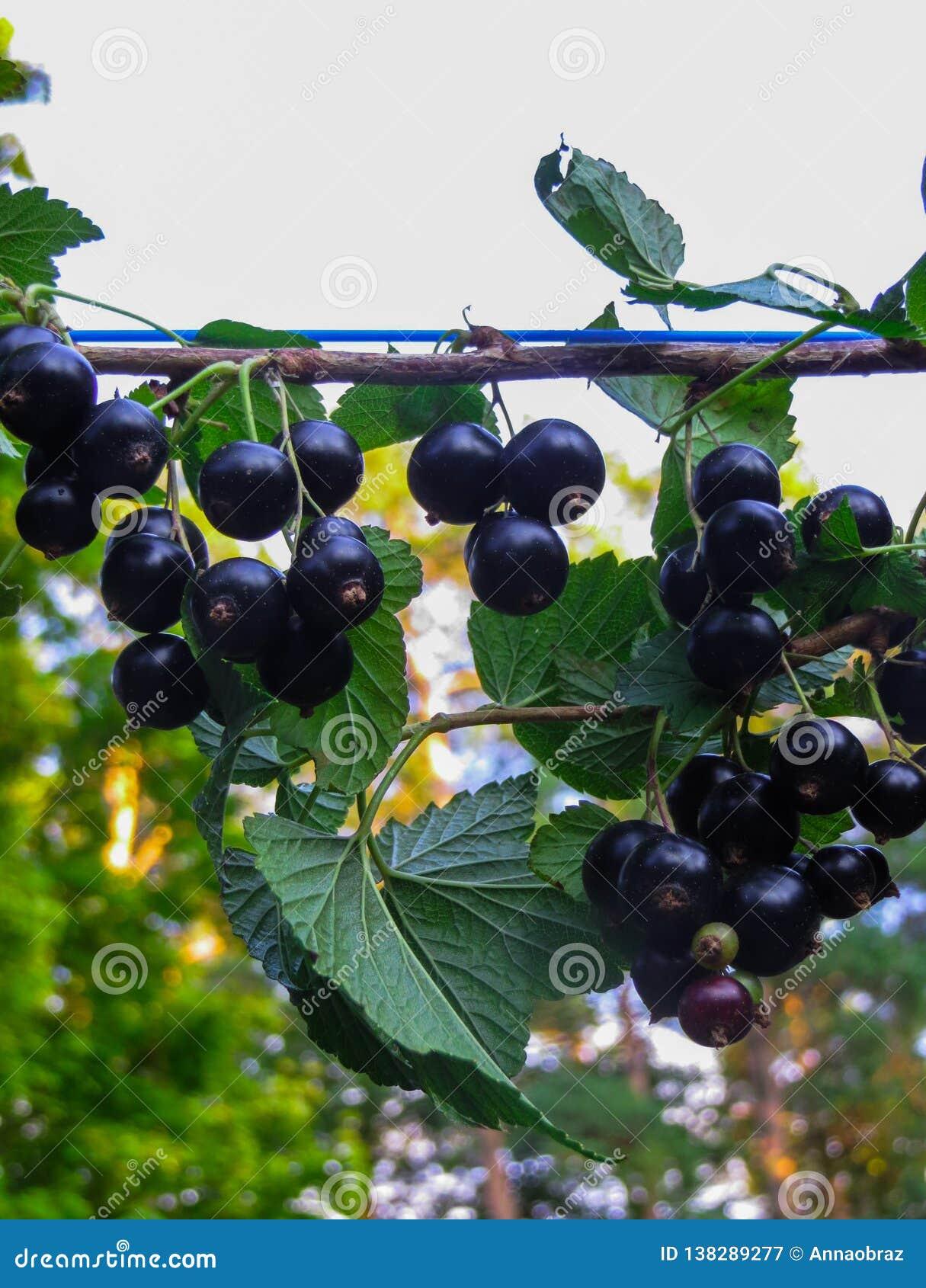 Bagas bonitas, deliciosas da groselha em um ramo