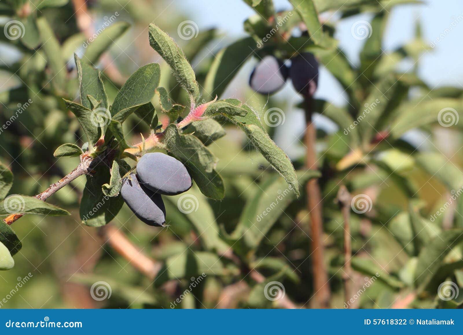 Bagas da madressilva em um ramo