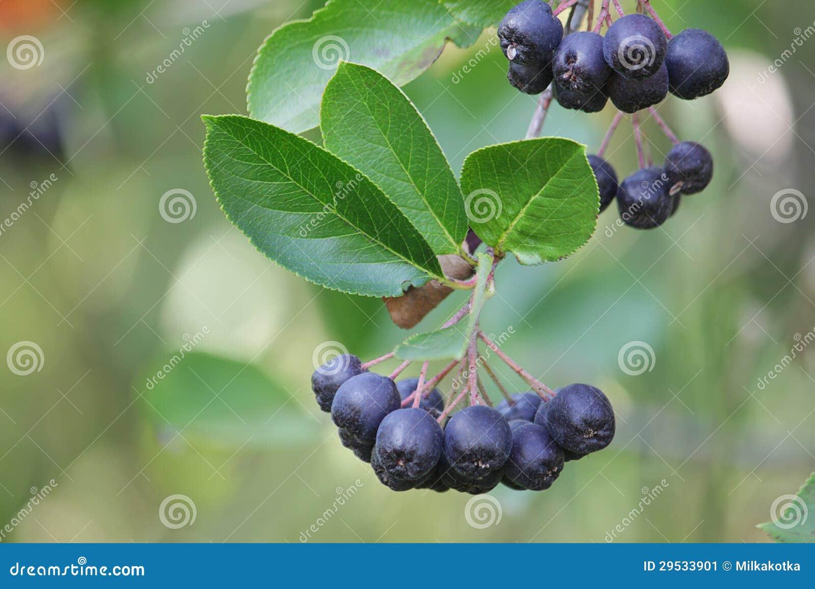Bagas de Aronia em um ramo