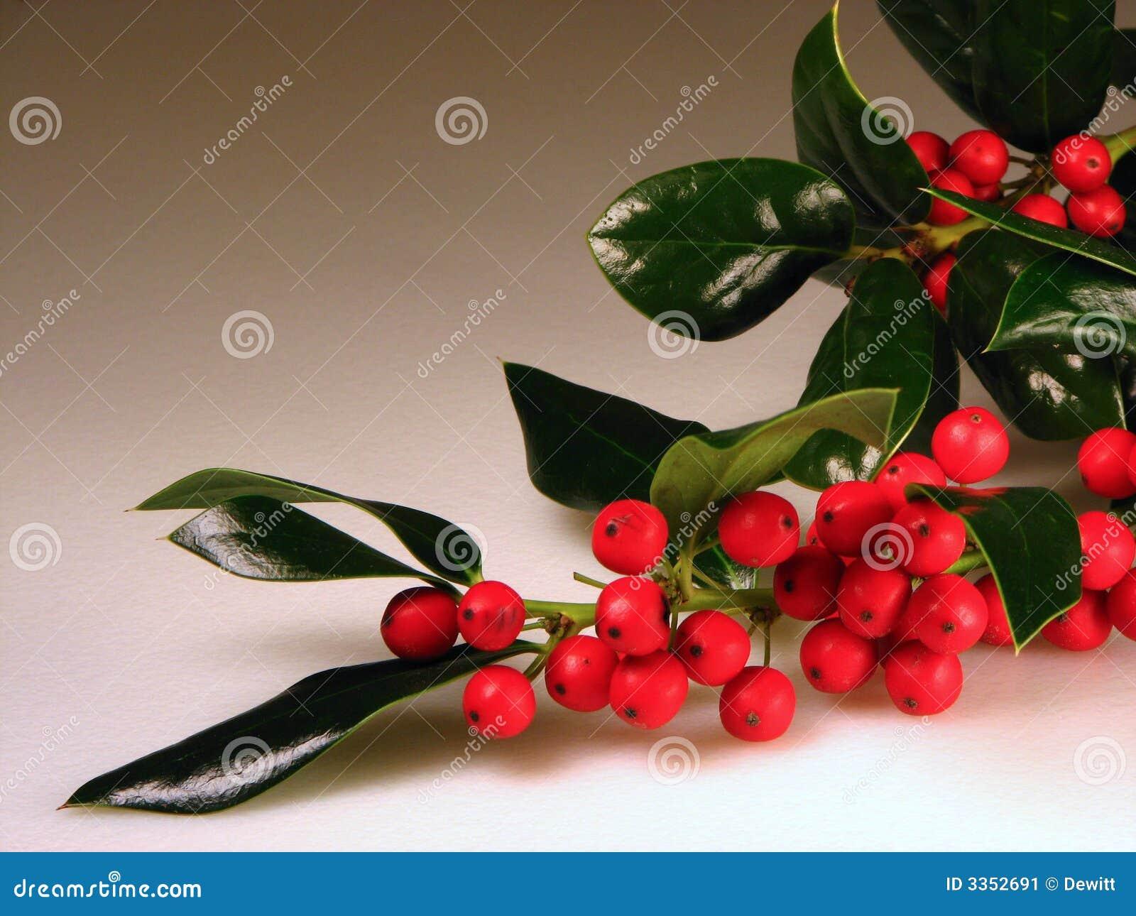 Bagas do azevinho do Natal