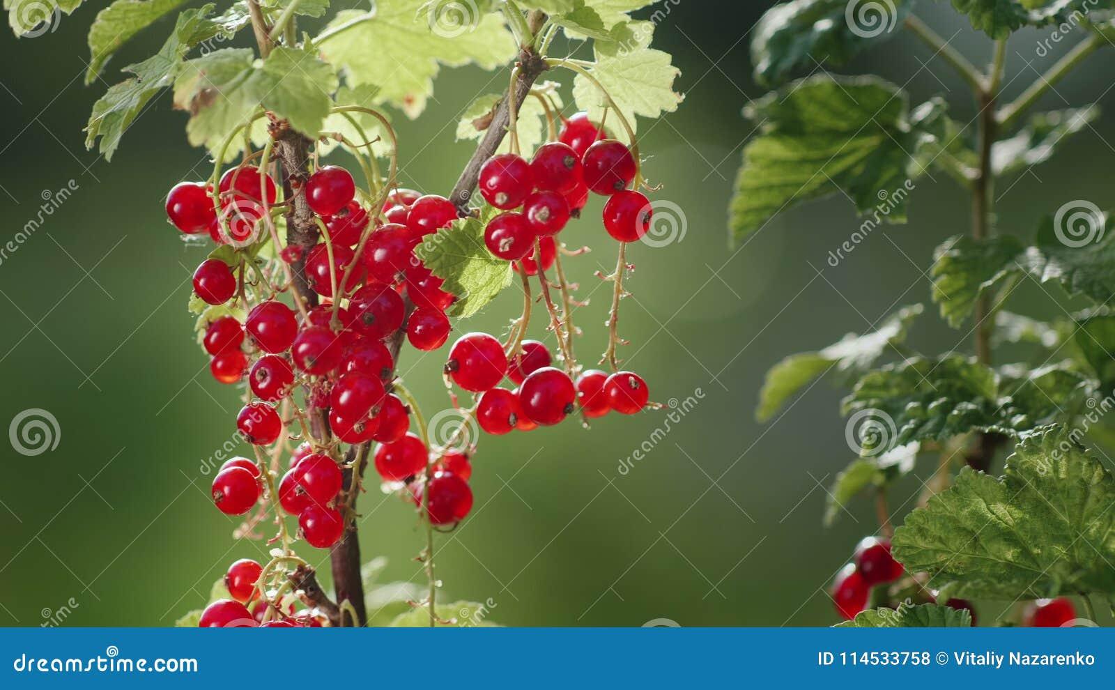 Bagas do corinto vermelho em um dia ensolarado claro A fonte de vitaminas