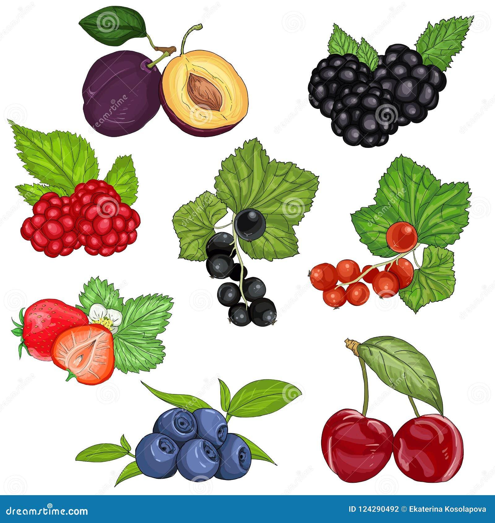 Bagas e ilustração selvagens ajustadas do vetor do fruto