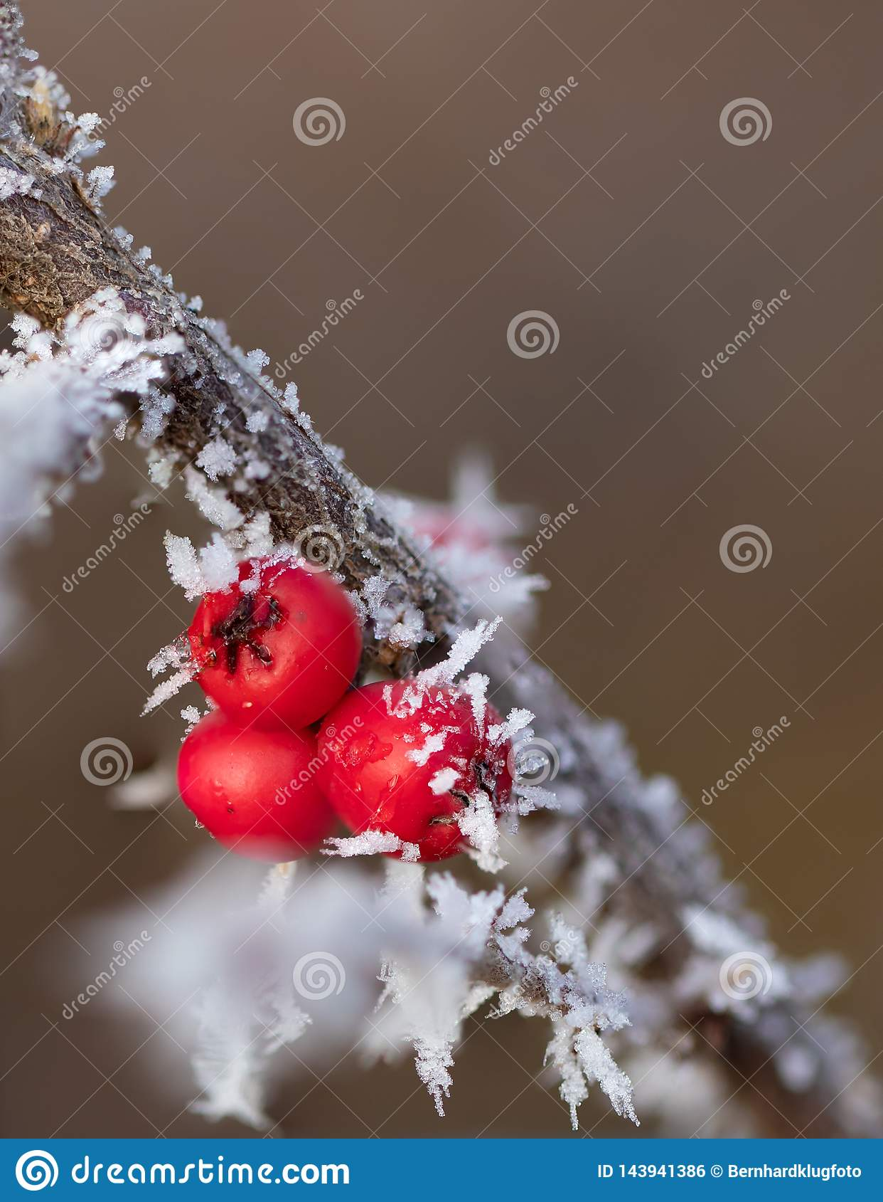 Bagas vermelhas com agulhas de gelo