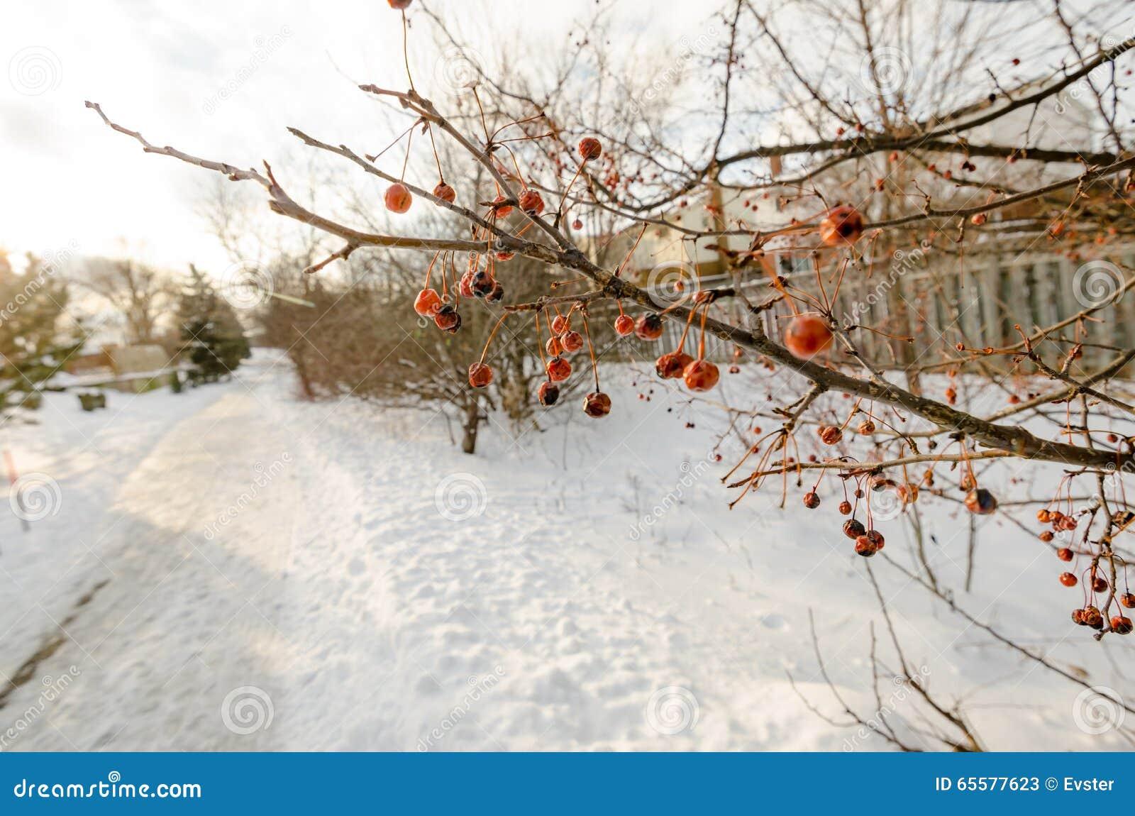 Bagas vermelhas congeladas em um ramo