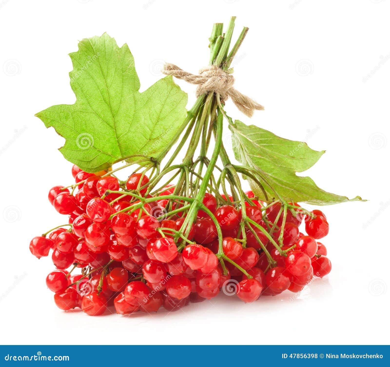 Bagas vermelhas do viburnum
