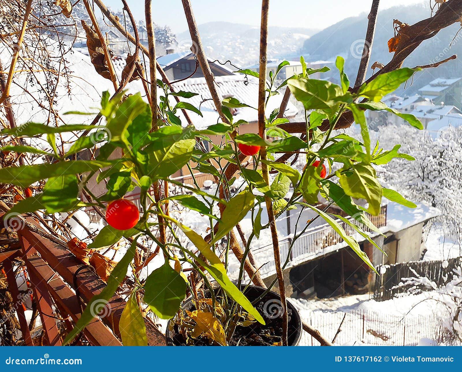 Bagas vermelhas em meu jardim orgânico nevado