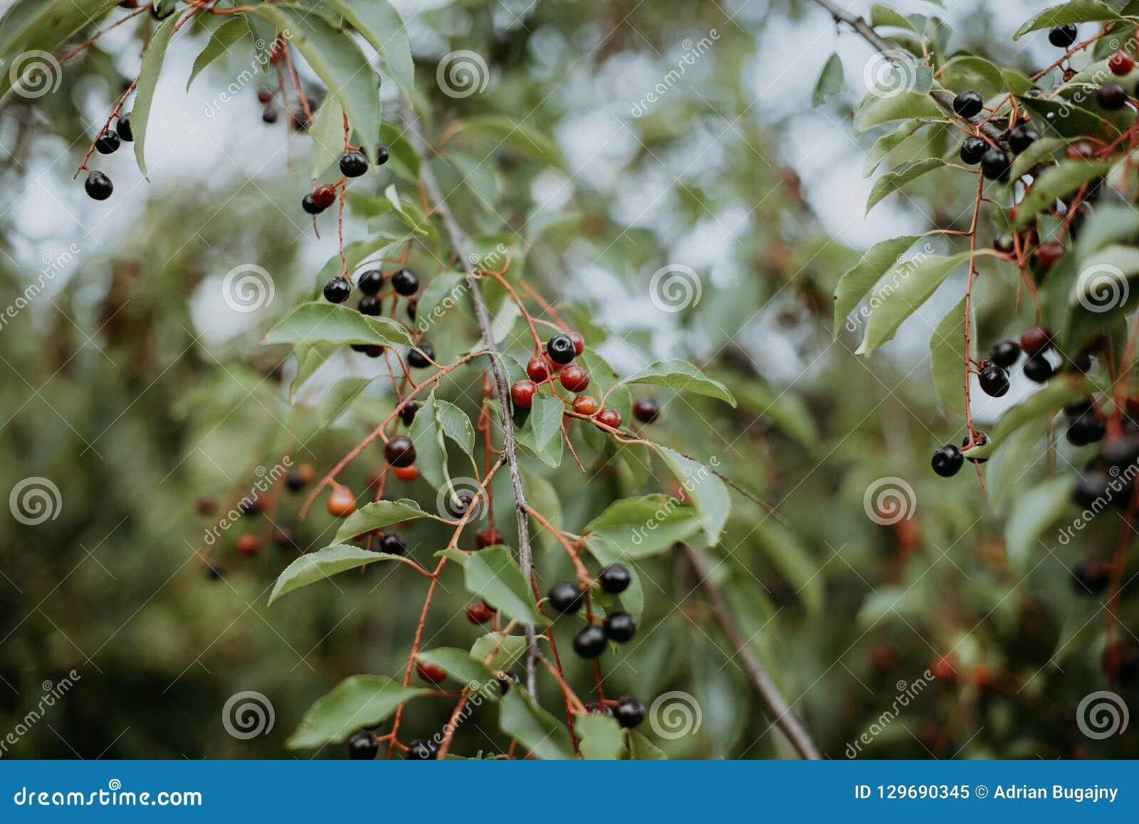 Bagas vermelhas em um ramo