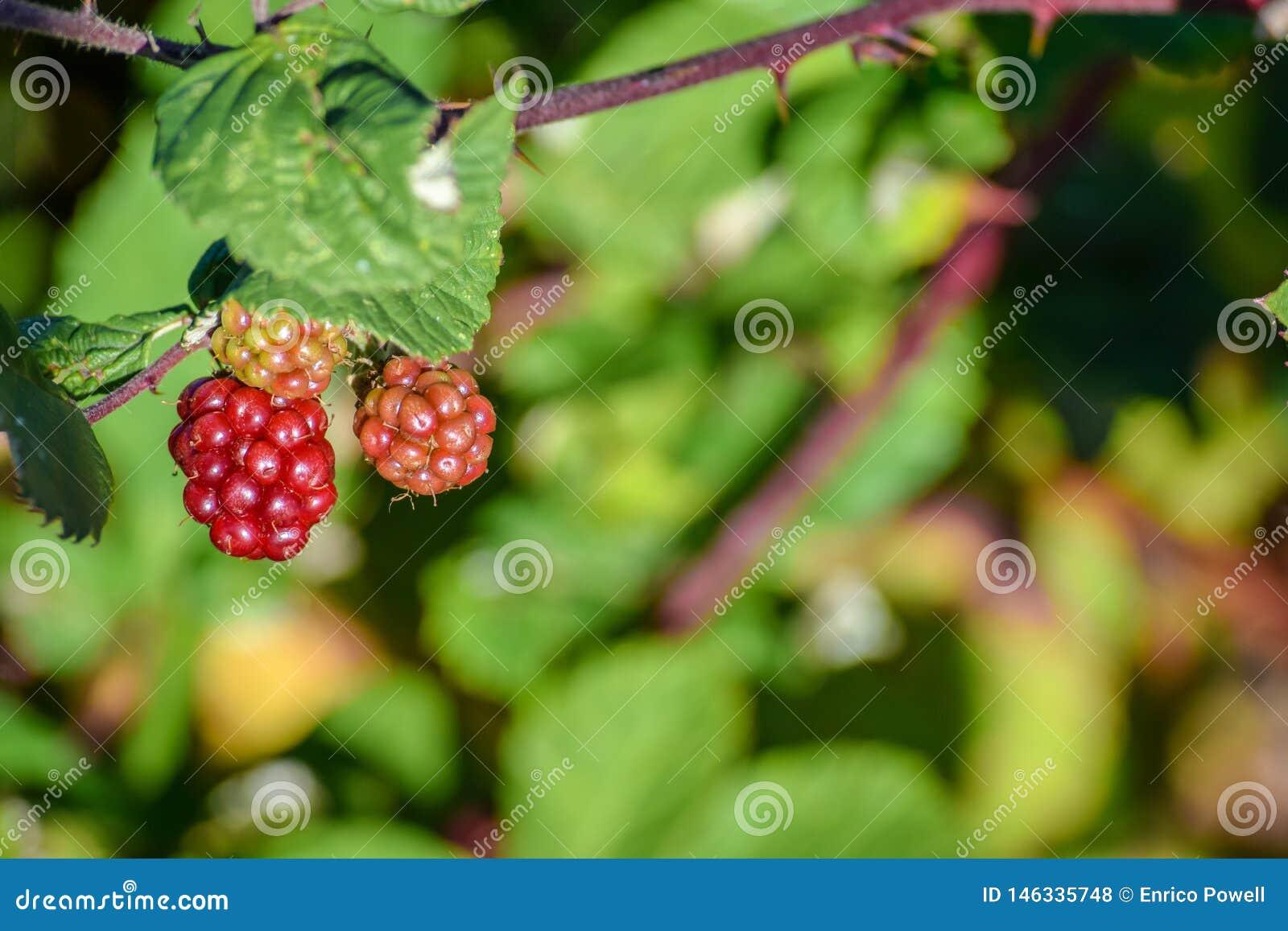 Bagas vermelhas que crescem a suspensão selvagem de uma árvore