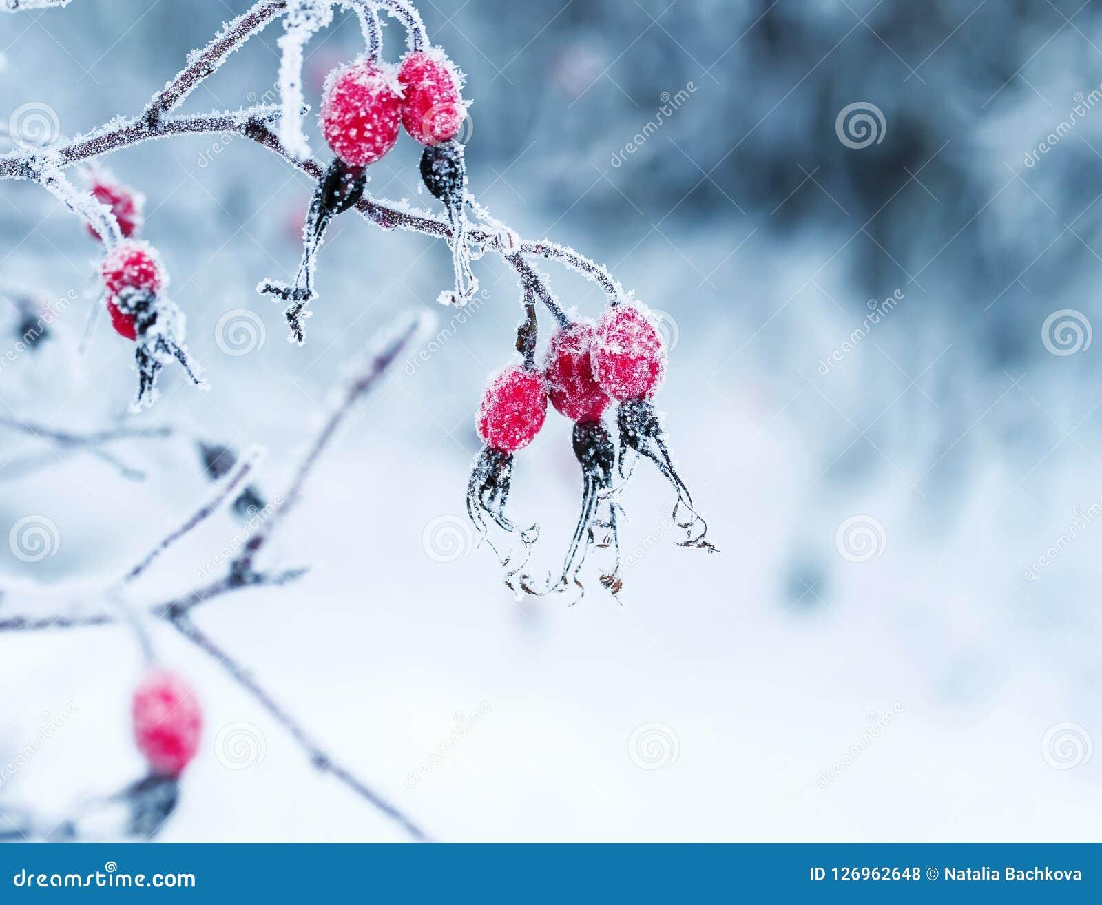 Bagas vermelhas suculentas do rosehip que penduram no wintergarden coberto