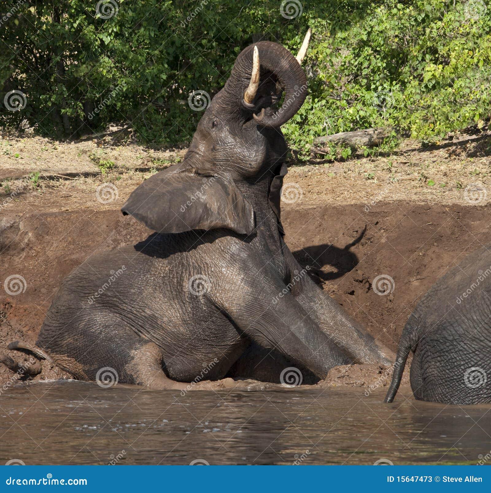 Bagno di fango dell 39 elefante botswana fotografie stock - Elefante foglio di colore dell elefante ...