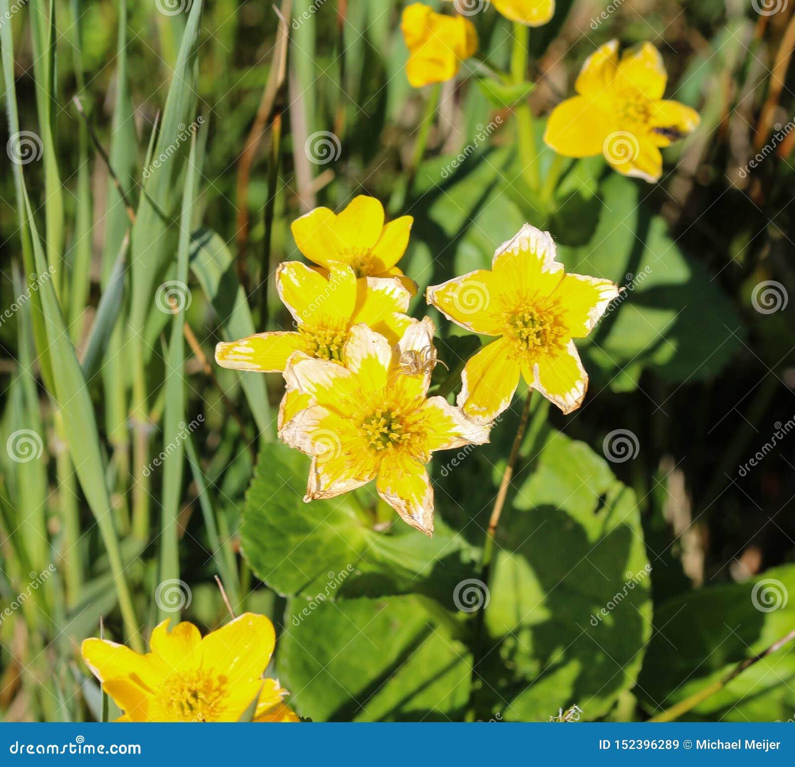 Bagno nagietek lub kingcup (Caltha palustris