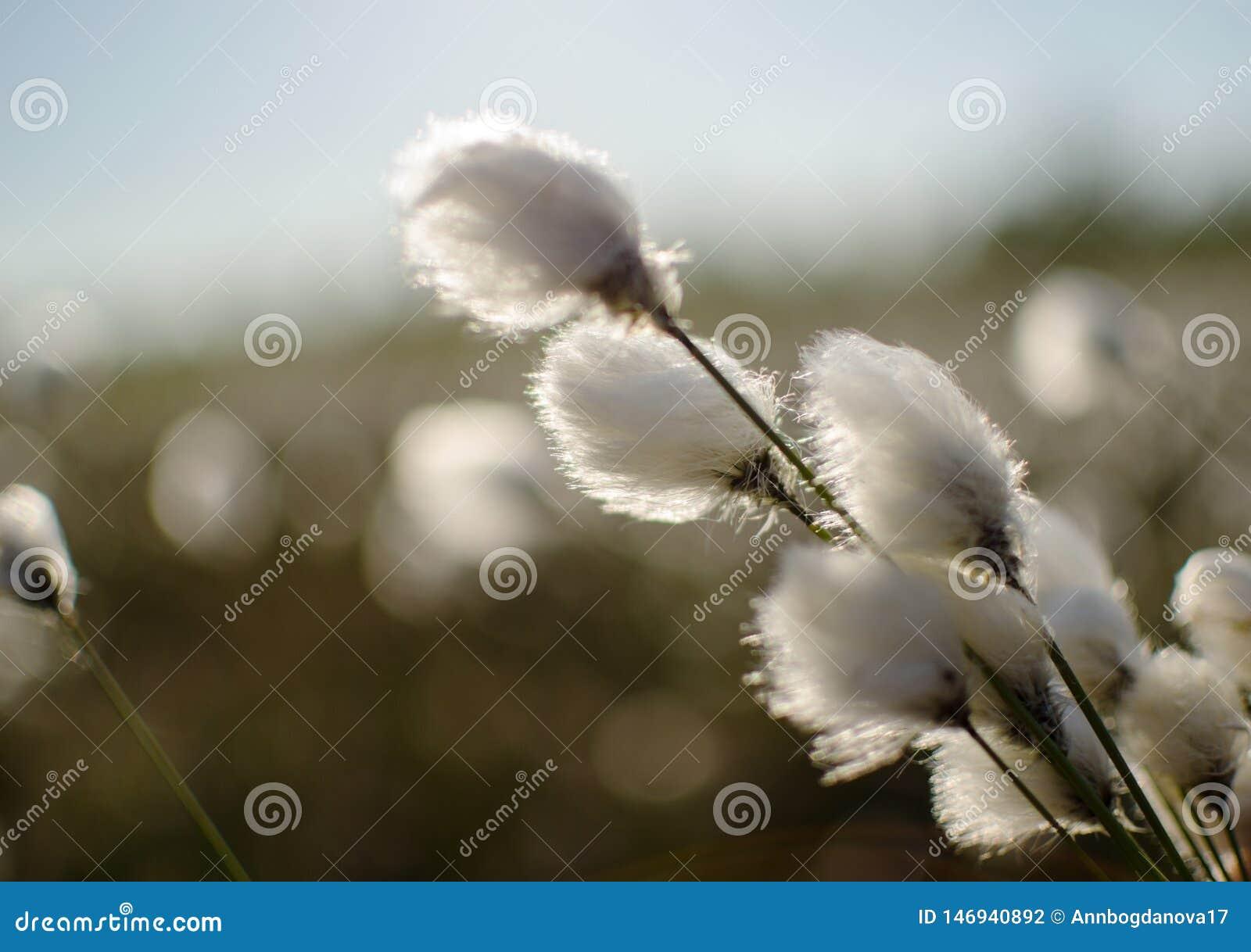 Bagno roślina z ipushistymi kwiatostanami lubi bawełnę, Eriophorum vaginatum kwiaty w wiośnie