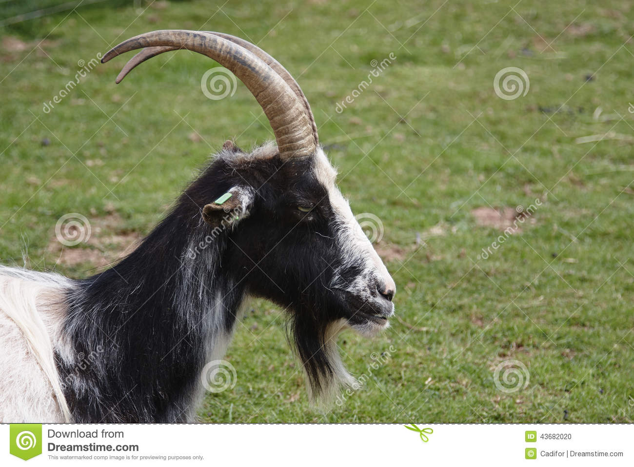 Bagot Goat Stock Photo Image Of Head Beard Hircus