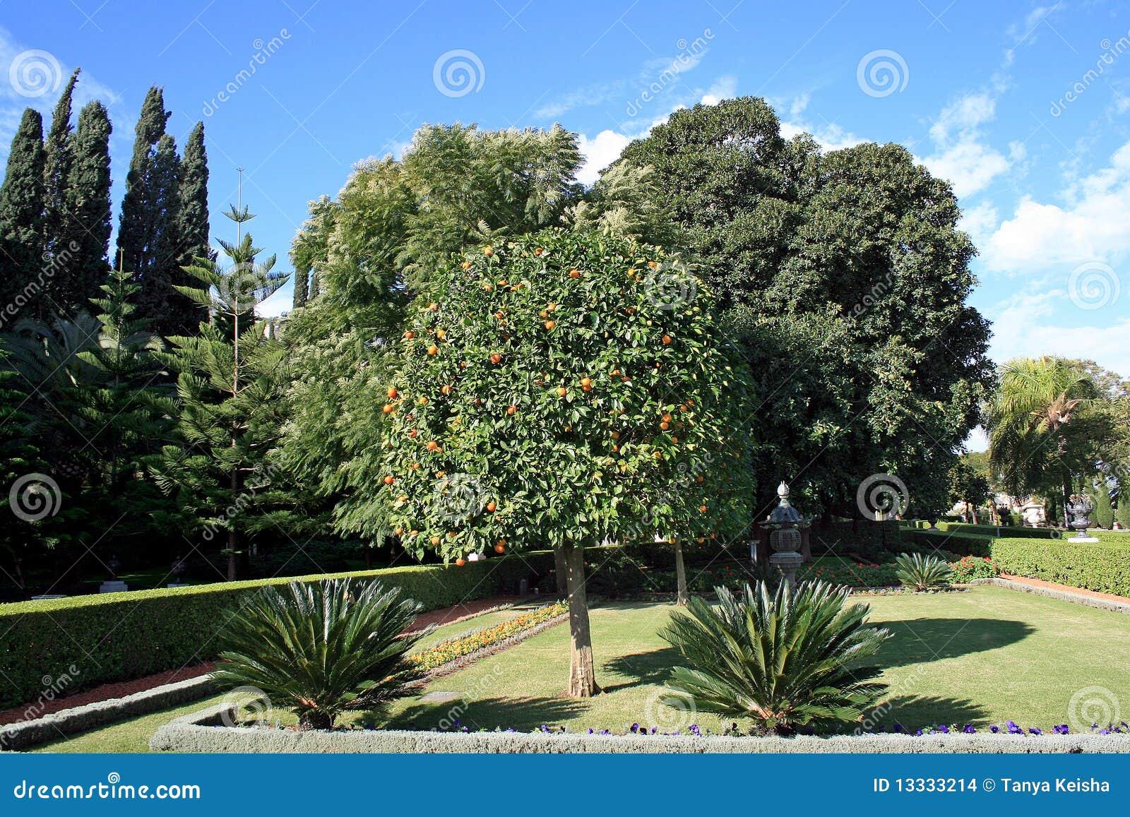 Bahai ogrodowy mandarine drzewo