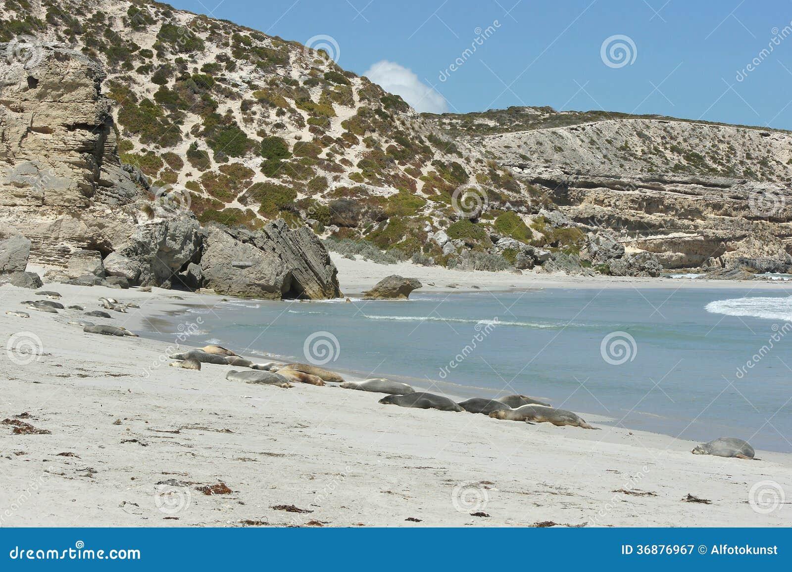 Download Baia NP, Isola Di Kangaro, Australia Della Guarnizione Immagine Stock - Immagine di spiaggia, panorama: 36876967