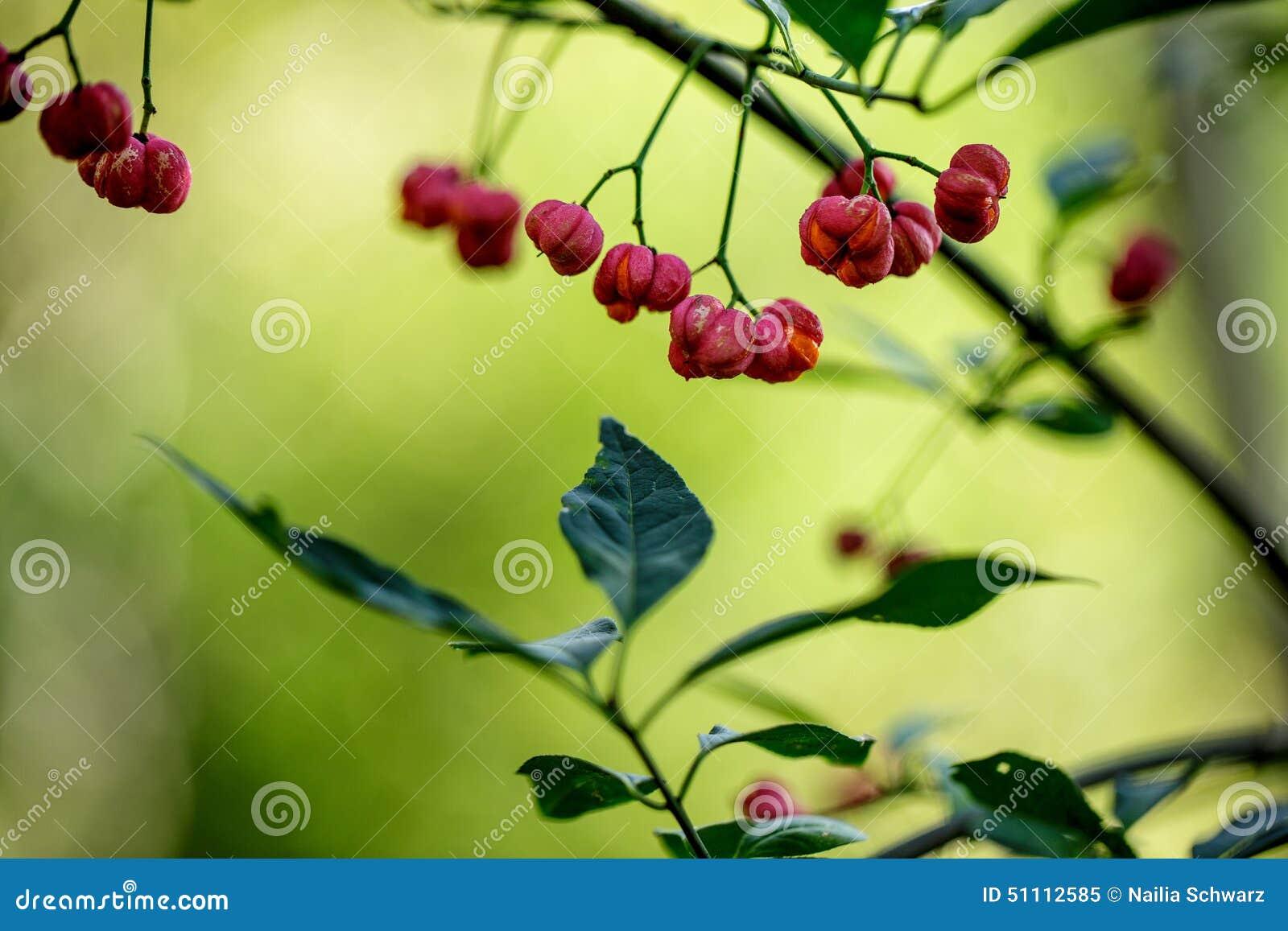 Baies rouges sur l 39 arbuste photo stock image 51112585 - Arbuste a baies rouges ...