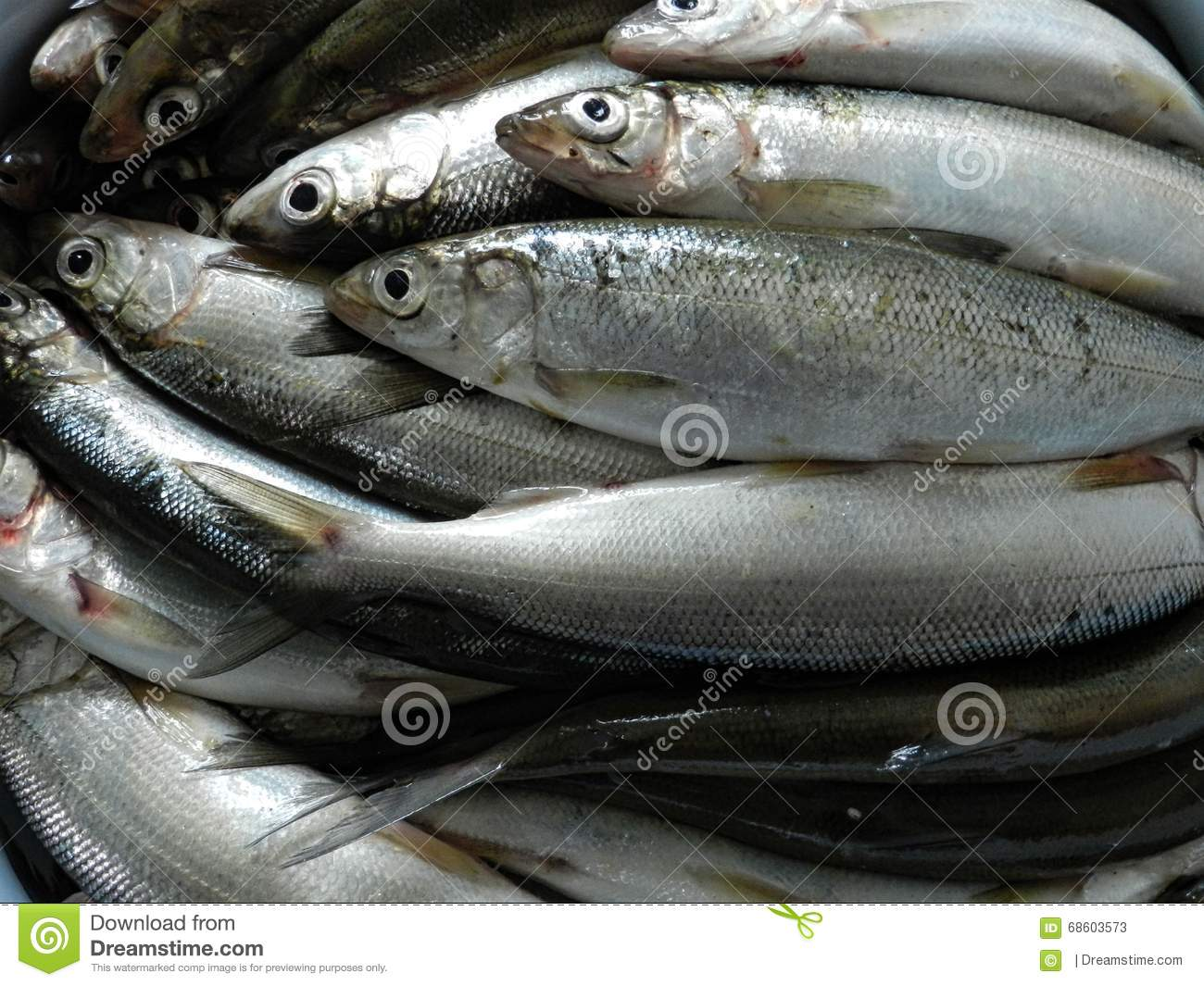 Baikal omul stock photo image 68603573 for Small silver fish