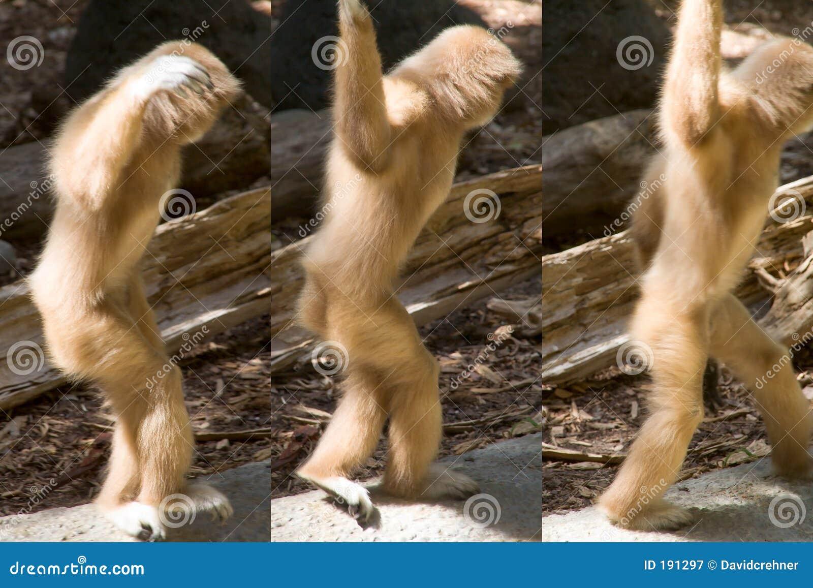 Baile Blanco-dado del gibbon lejos en una serie de tres actitudes
