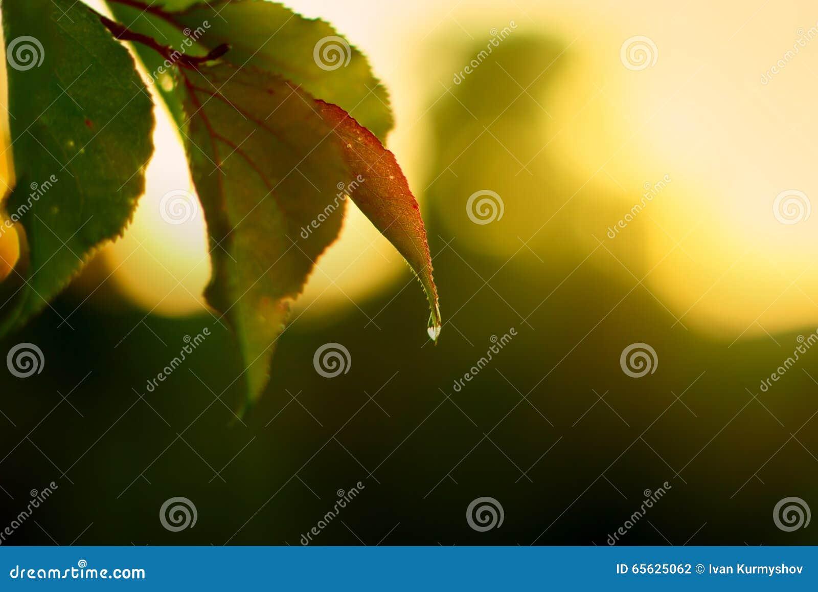 Baisse d eau douce, rosée de nature sur la feuille verte