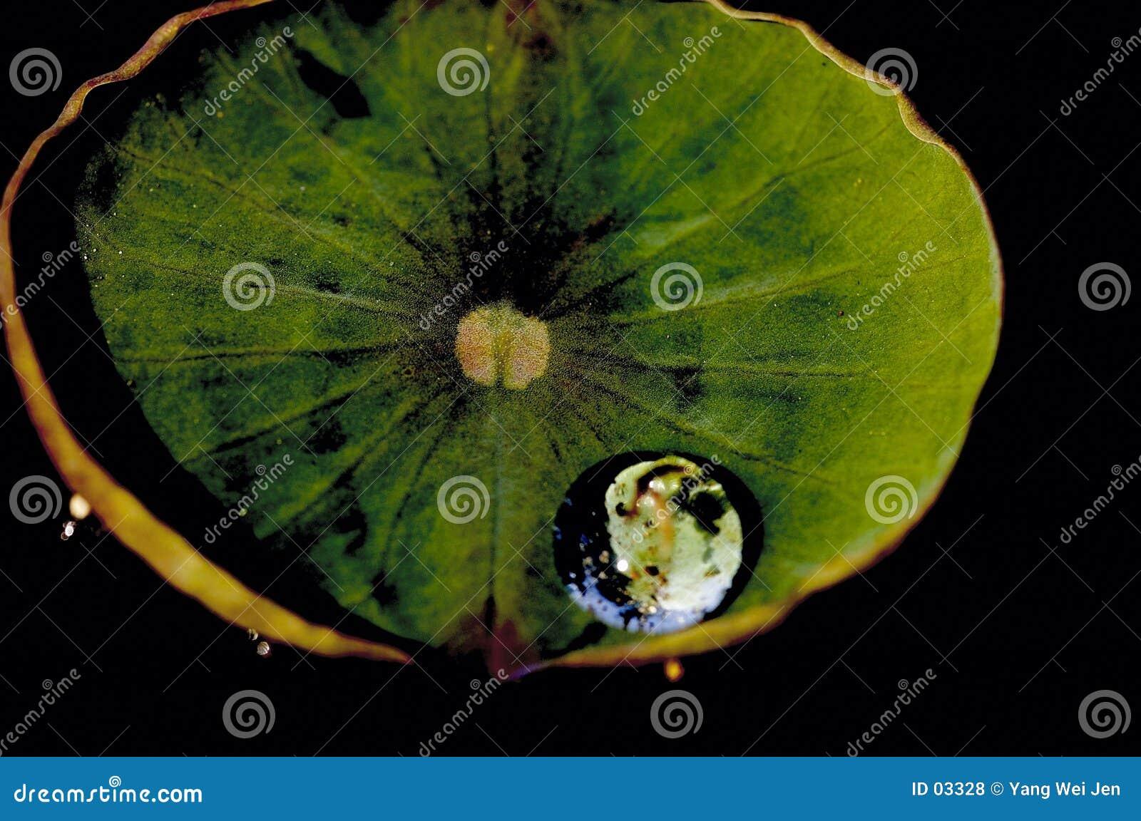 Baisse de l eau sur la lame de lotus.