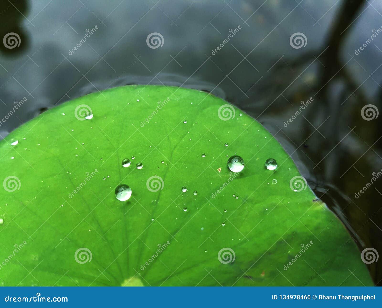 Baisse de l eau sur la lame de lotus