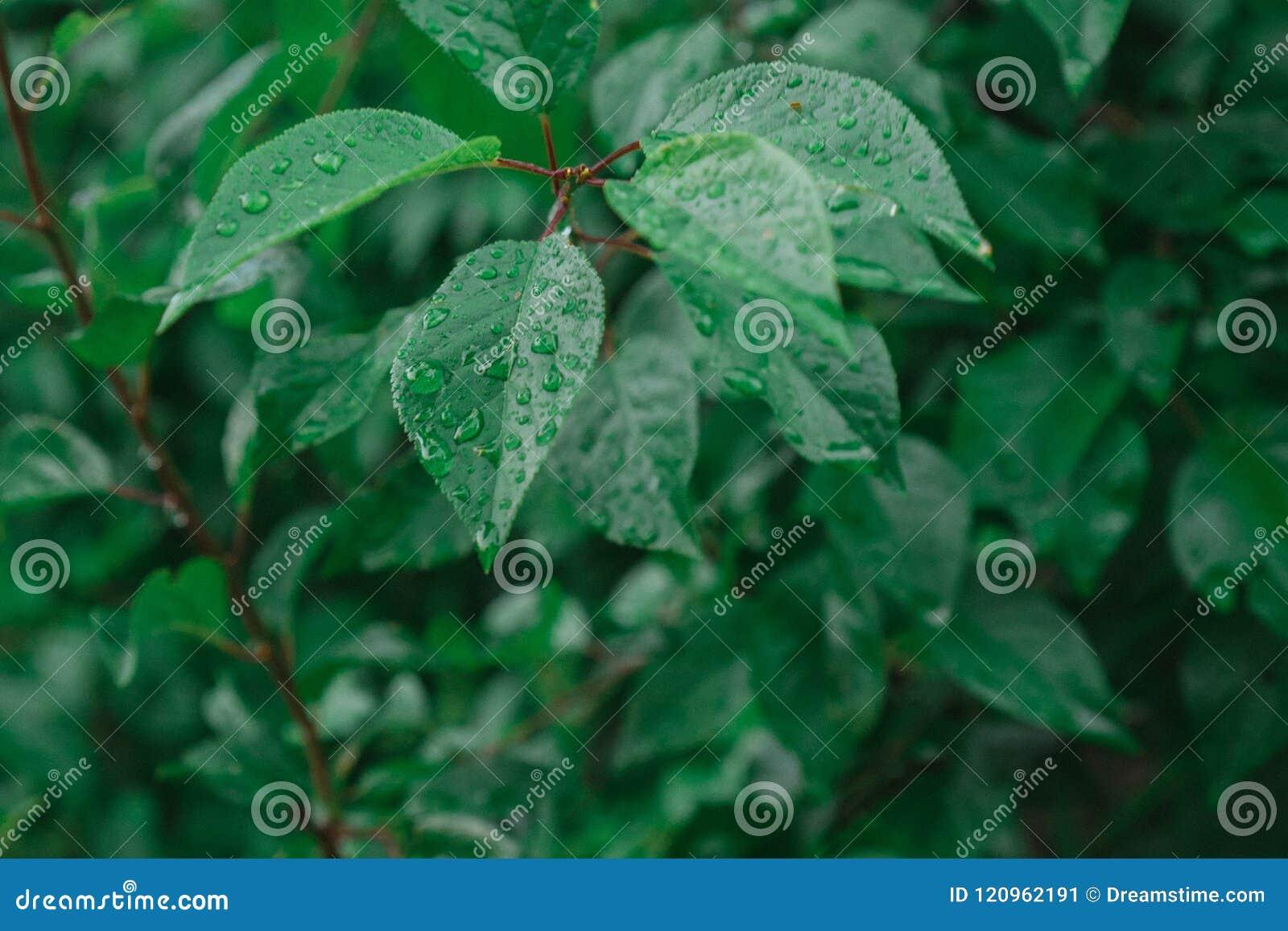 Baisses de mensonge de pluie sur les feuilles juteuses
