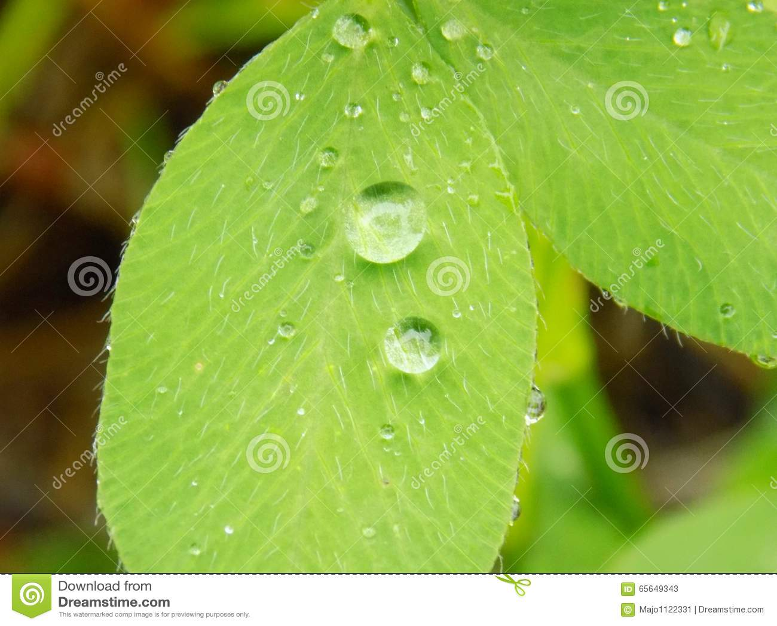 Baisses de pluie sur la feuille de trèfle
