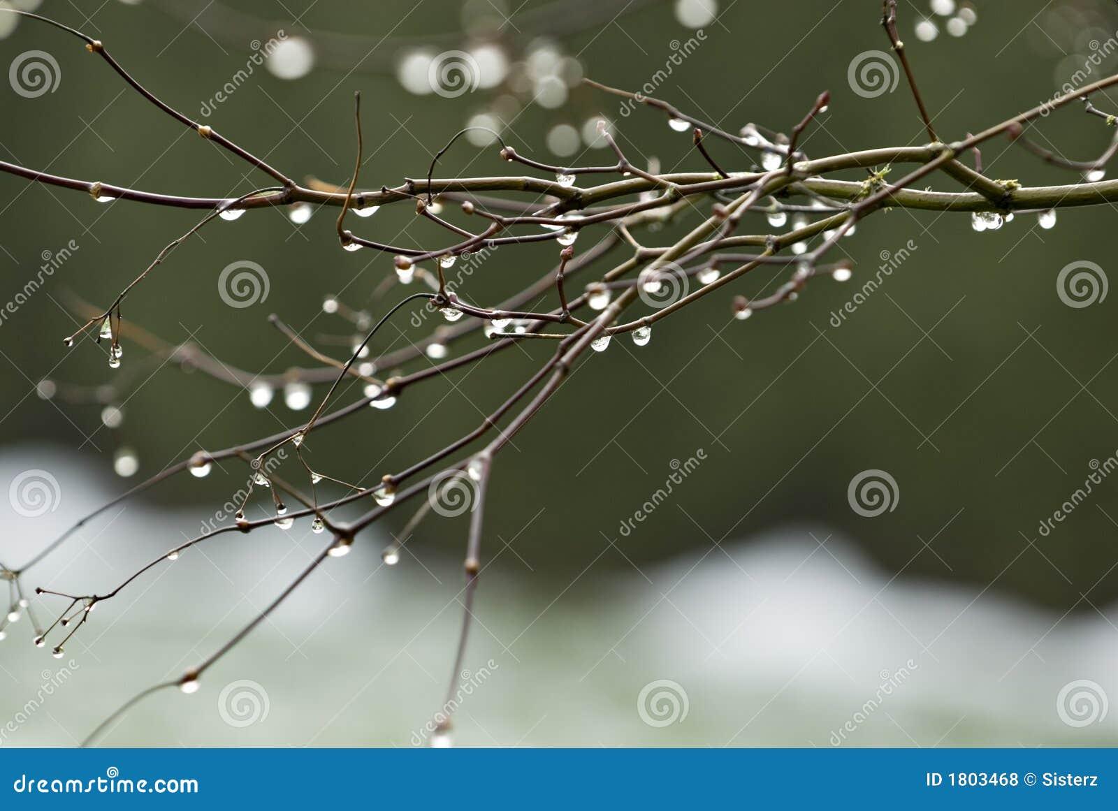 Baisses de rosée sur des branchements d érable