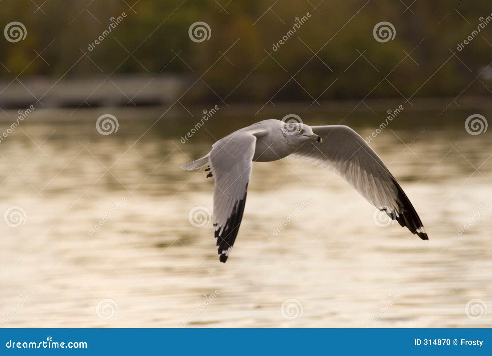 Baixa gaivota do vôo
