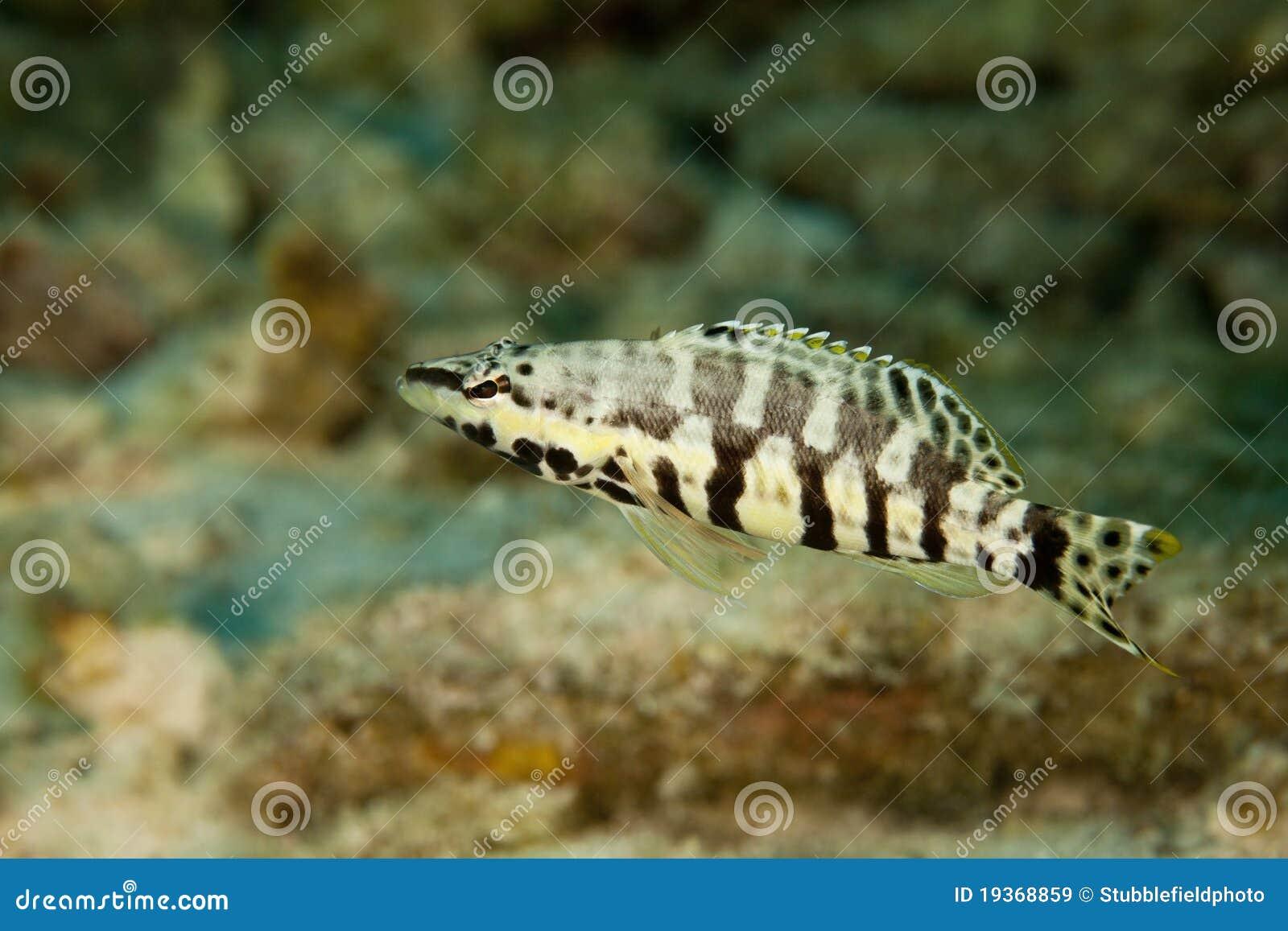 Baixo do Harlequin (tigrinus do Serranus)