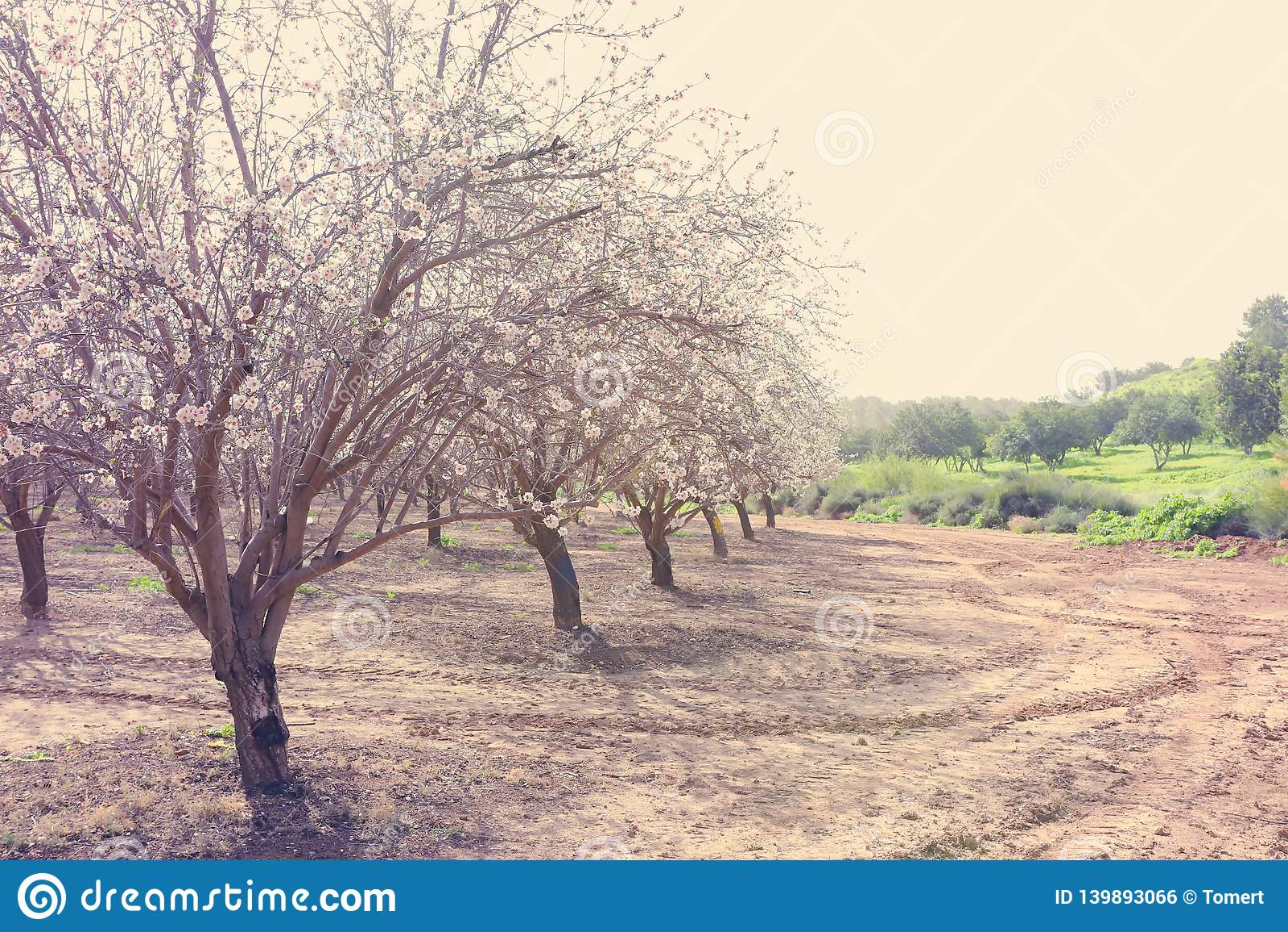 Bakgrund av kolonin för träd för körsbärsröda blomningar för vår den vita Selektivt fokusera