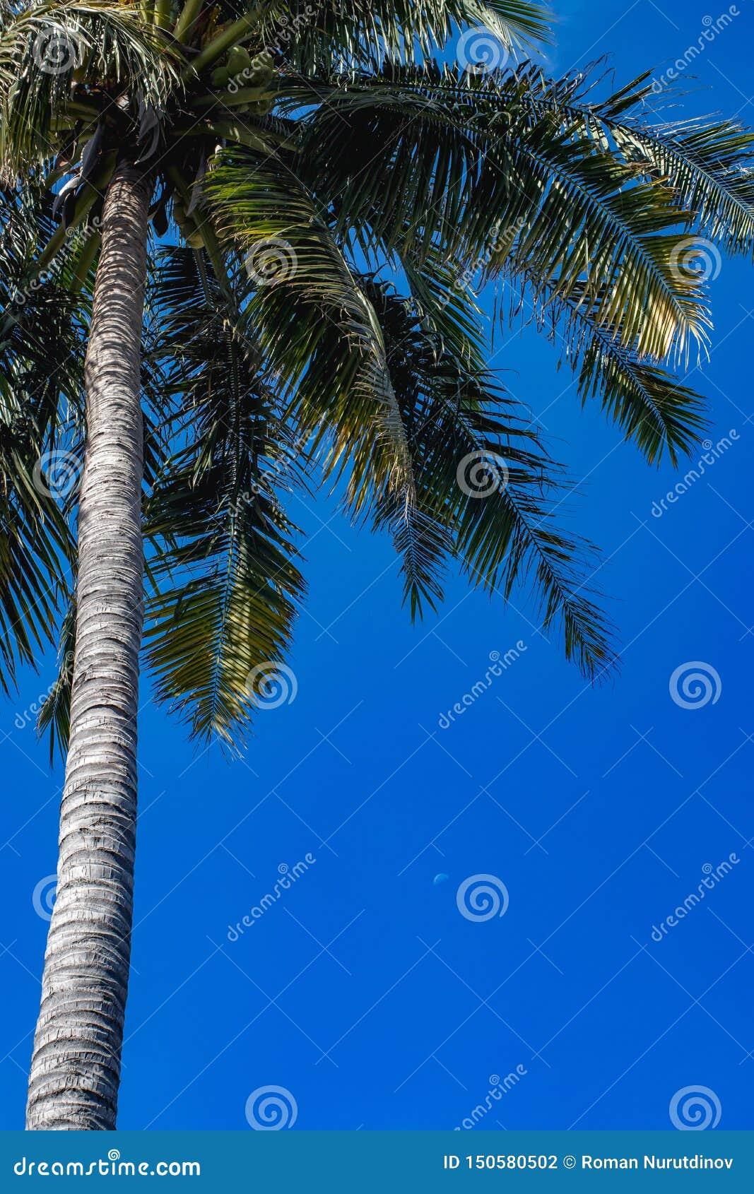 Bakgrund för blå himmel för palmträd