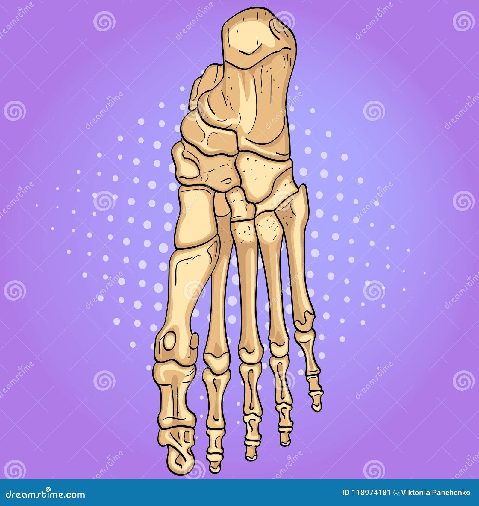 Bakgrund för popkonst Ben av foten med märkta huvudsakliga delar Från över, sido- och mediala sikter vektor