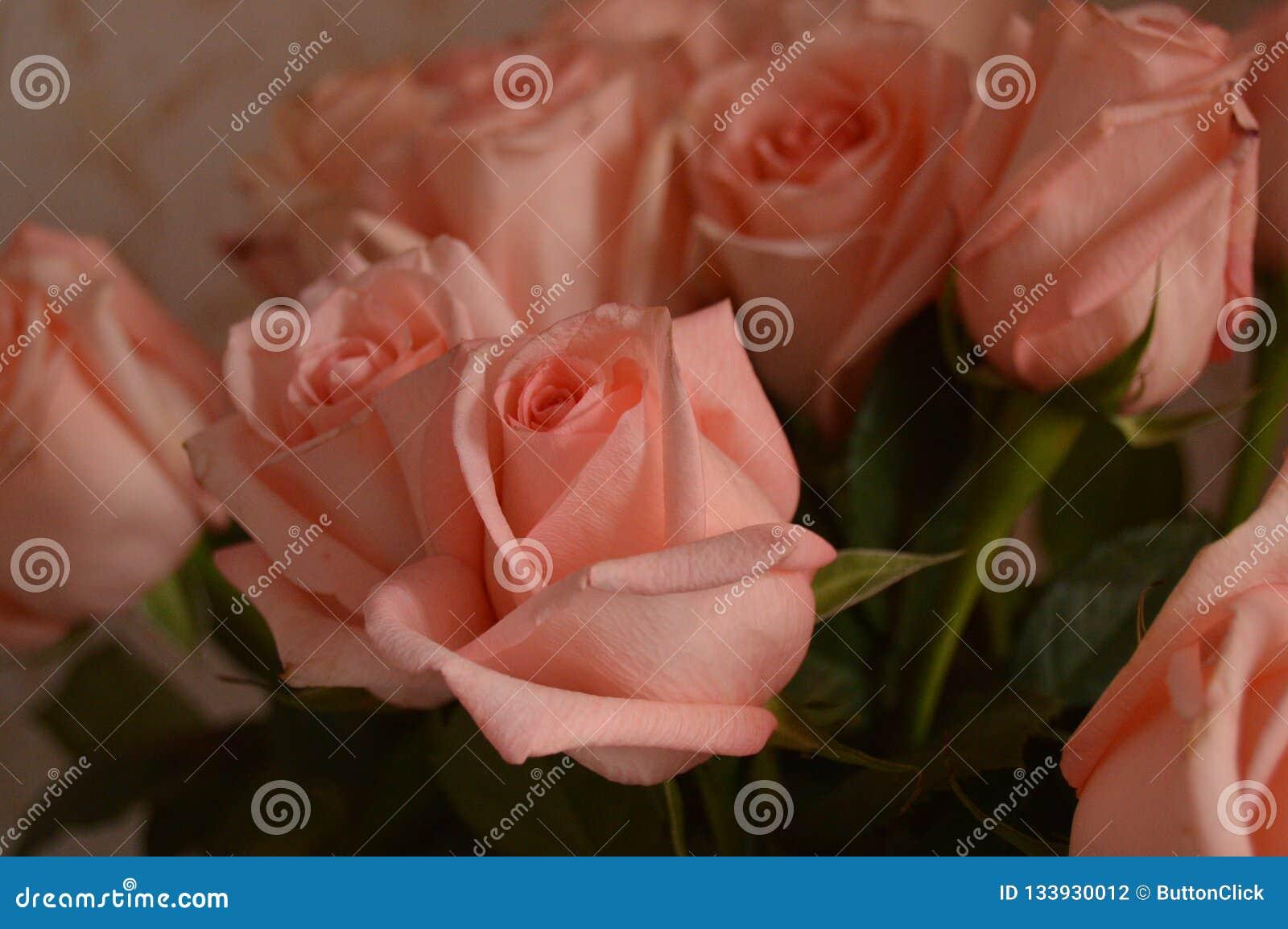 Bakgrund för Rose Many Gentle Pink Buds kronbladbukett