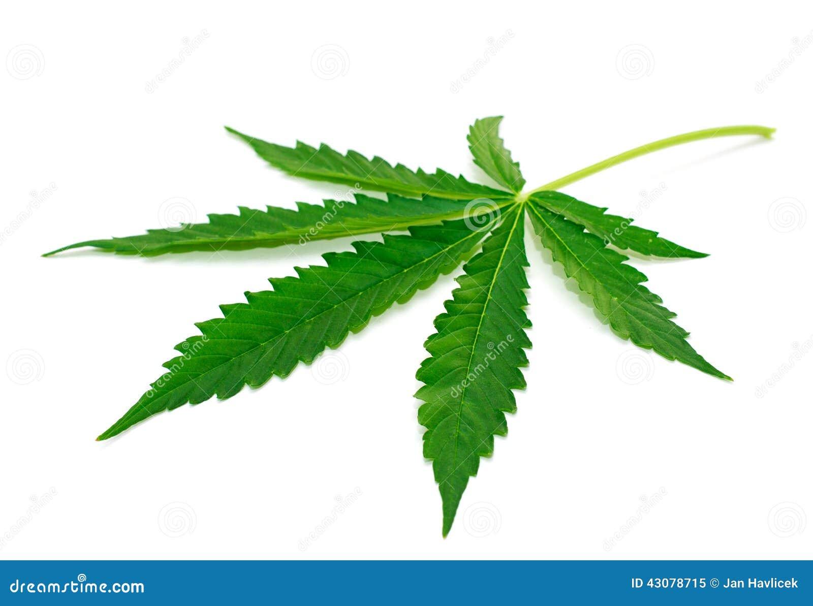 Bakgrund isolerad leafmarijuanawhite