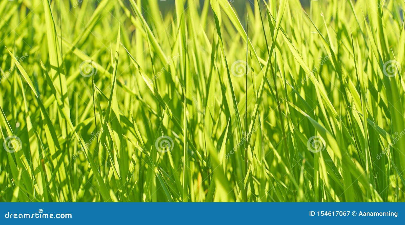 Bakgrund med frodigt ljust - grönt gräs på en solig sommardag
