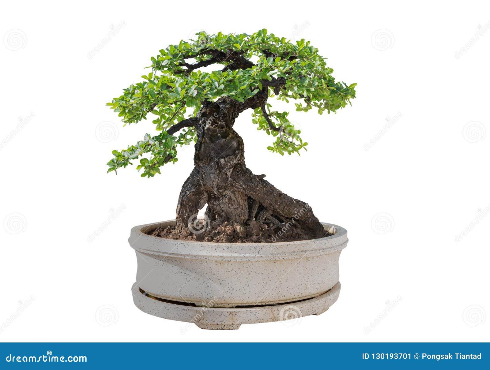 Bakgrundsbonsai isolerade treewhite Dess buske är fullvuxen in