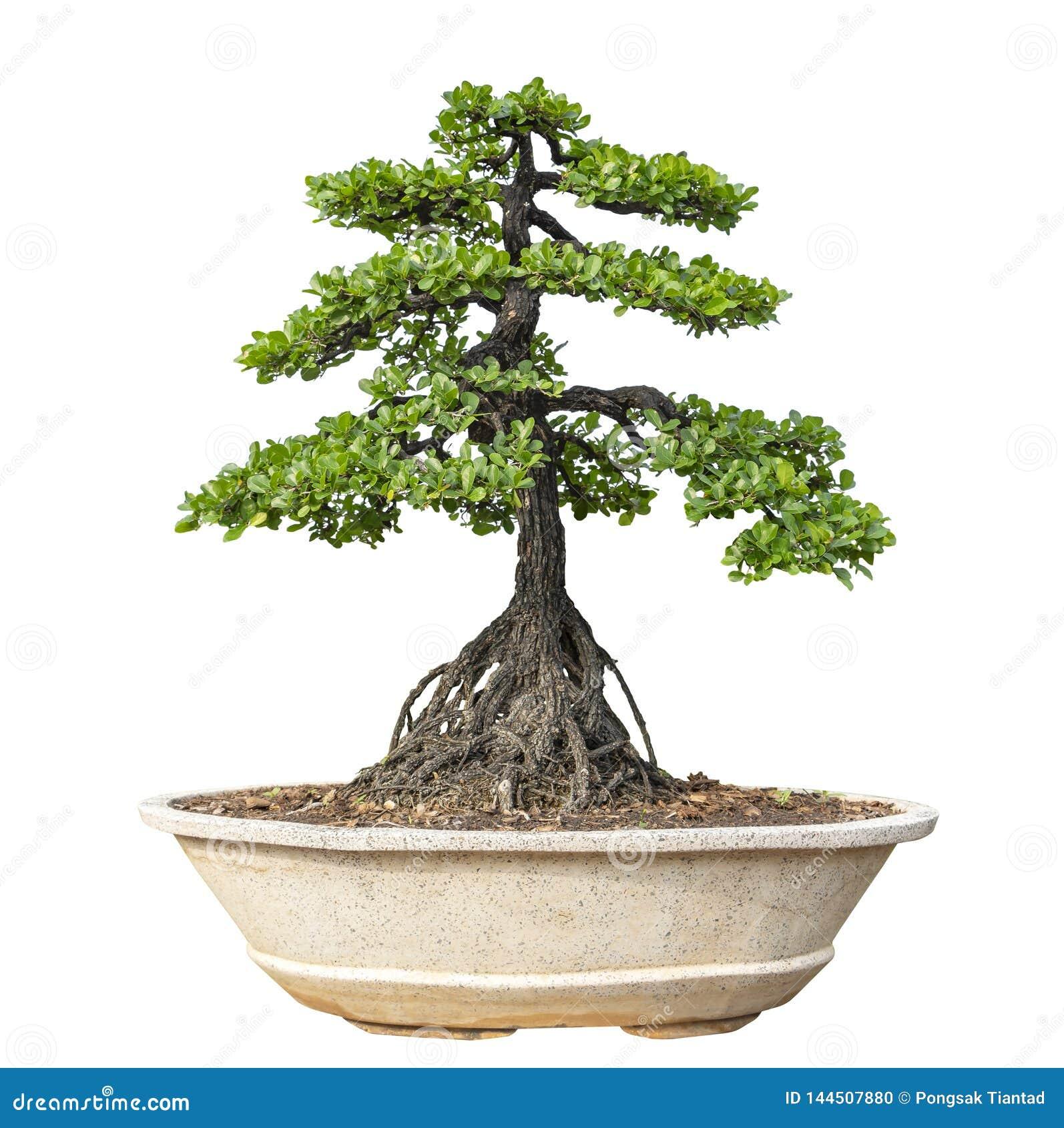 Bakgrundsbonsai isolerade treewhite Dess buske är fullvuxen i en kruka eller ett dekorativt träd i trädgården