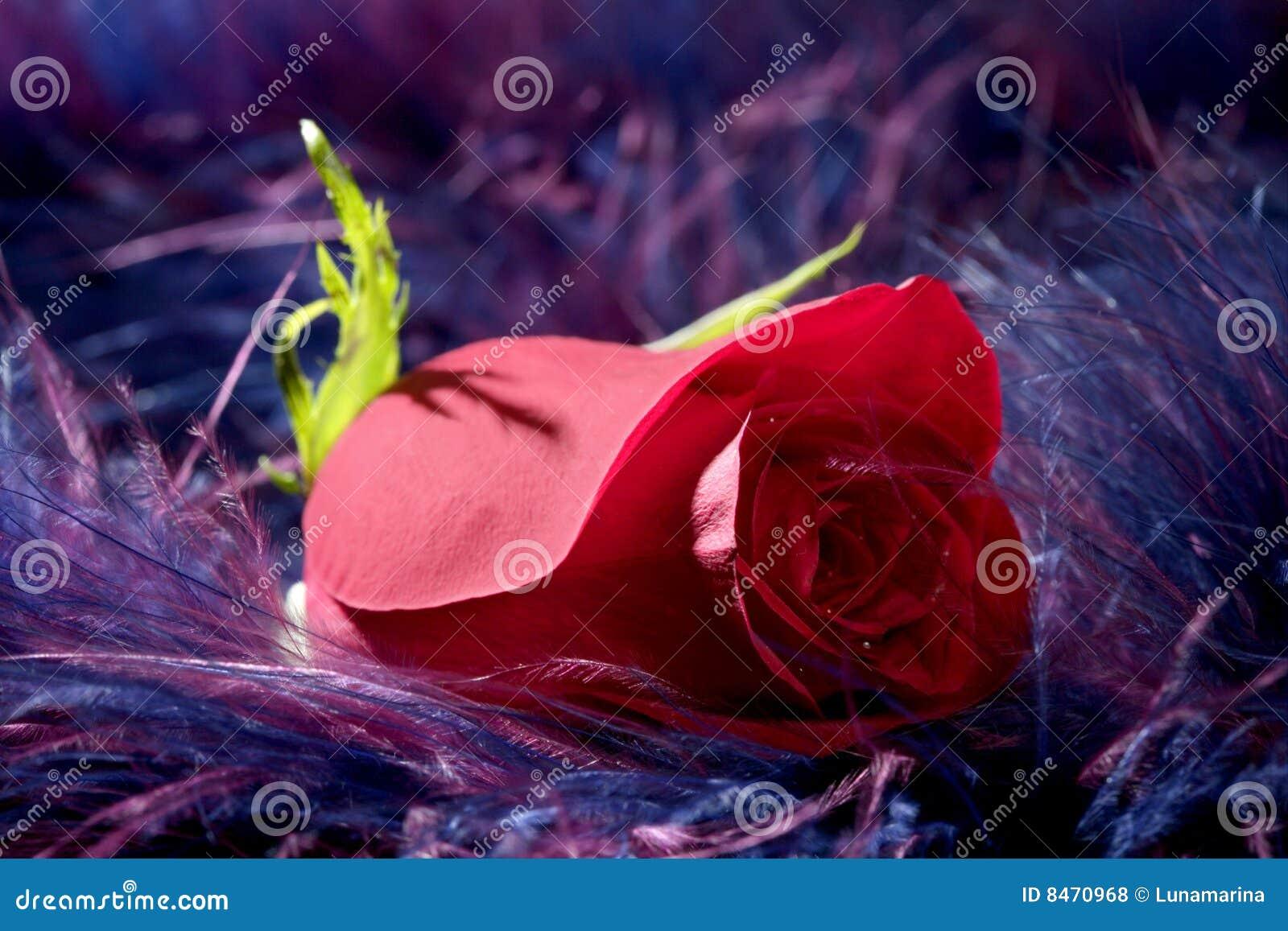 Bakgrundsfjäderblomma över den slappa purplerosen