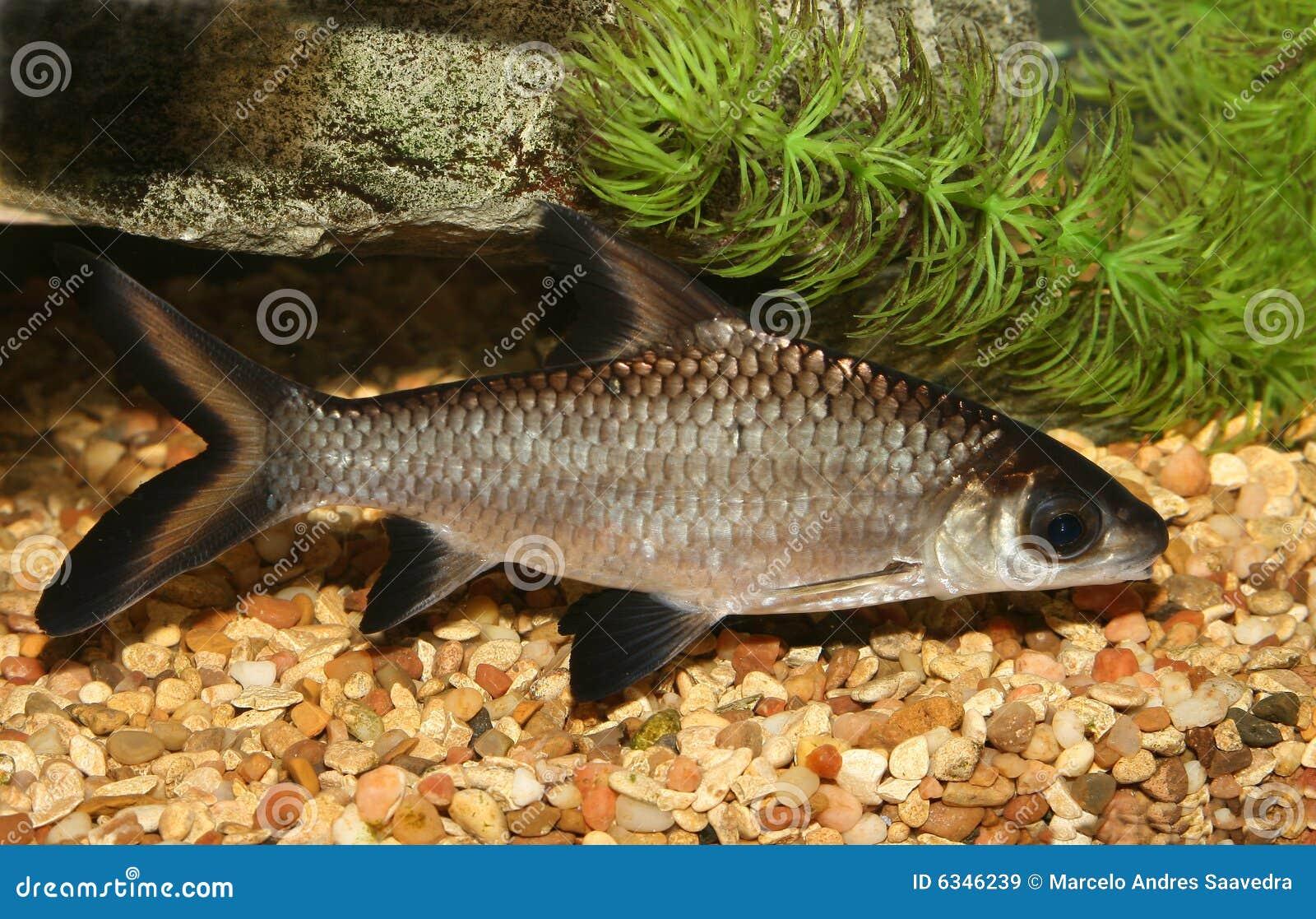 Bala Shark Fish Stock Image Image Of Fishtank Shark 6346239