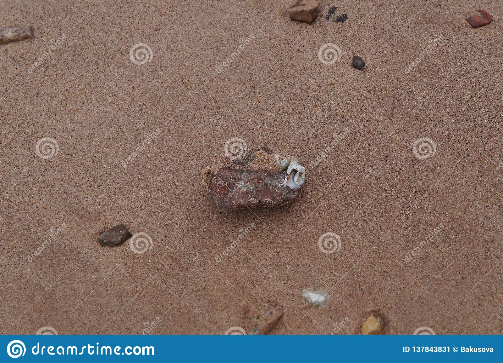 Balanus sticked op de steen