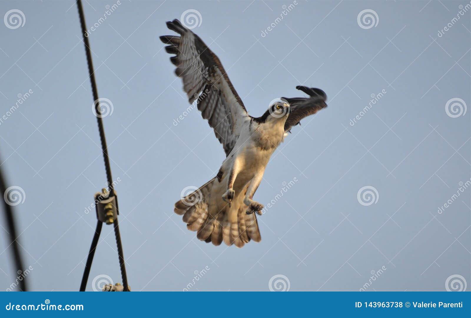 Balbuzard effectuant le vol pour trouver le matériel pour faire son nid