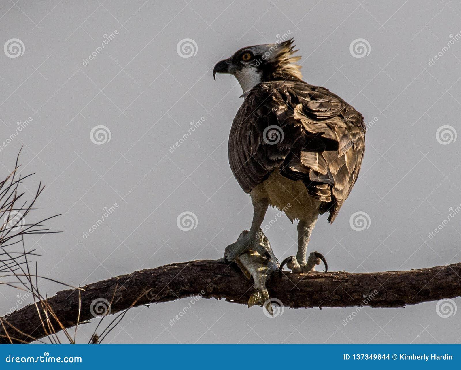 Balbuzard mangeant le déjeuner dans un arbre