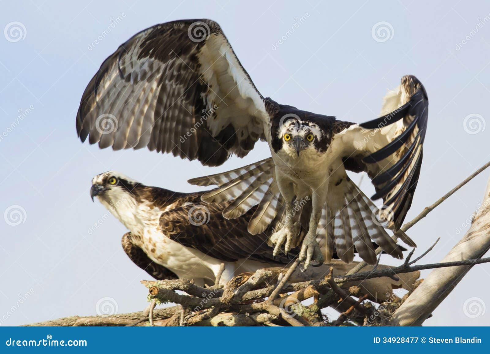 Balbuzard (Pandion Haliaetus) décollant de son nid