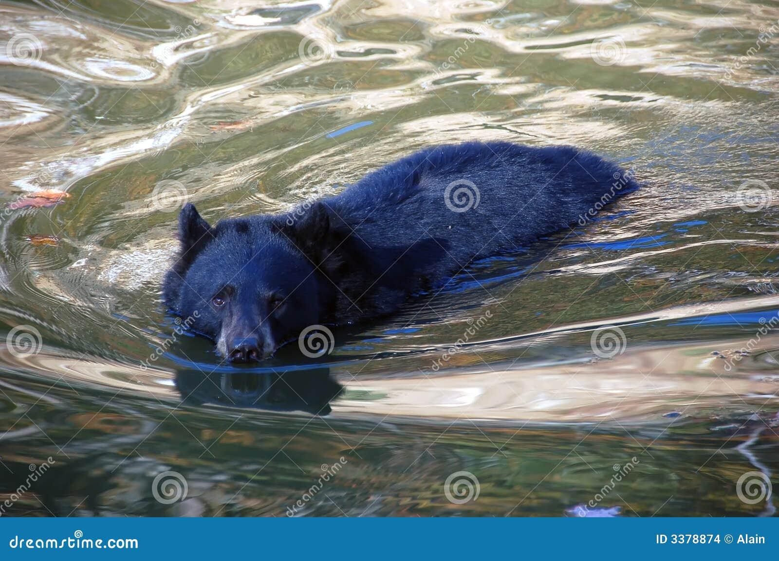 Balck熊游泳