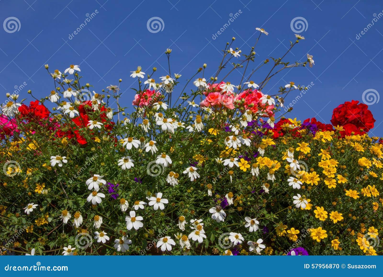Balcony With Colorful Summer Flowers Geranium Yellow Bidens Stock