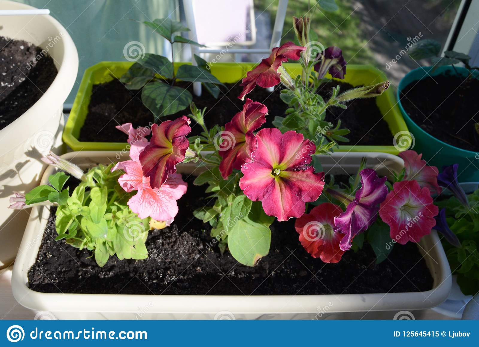 Balcony gardening with flowers in pots and planters beautiful download balcony gardening with flowers in pots and planters beautiful petunias grow in box in izmirmasajfo
