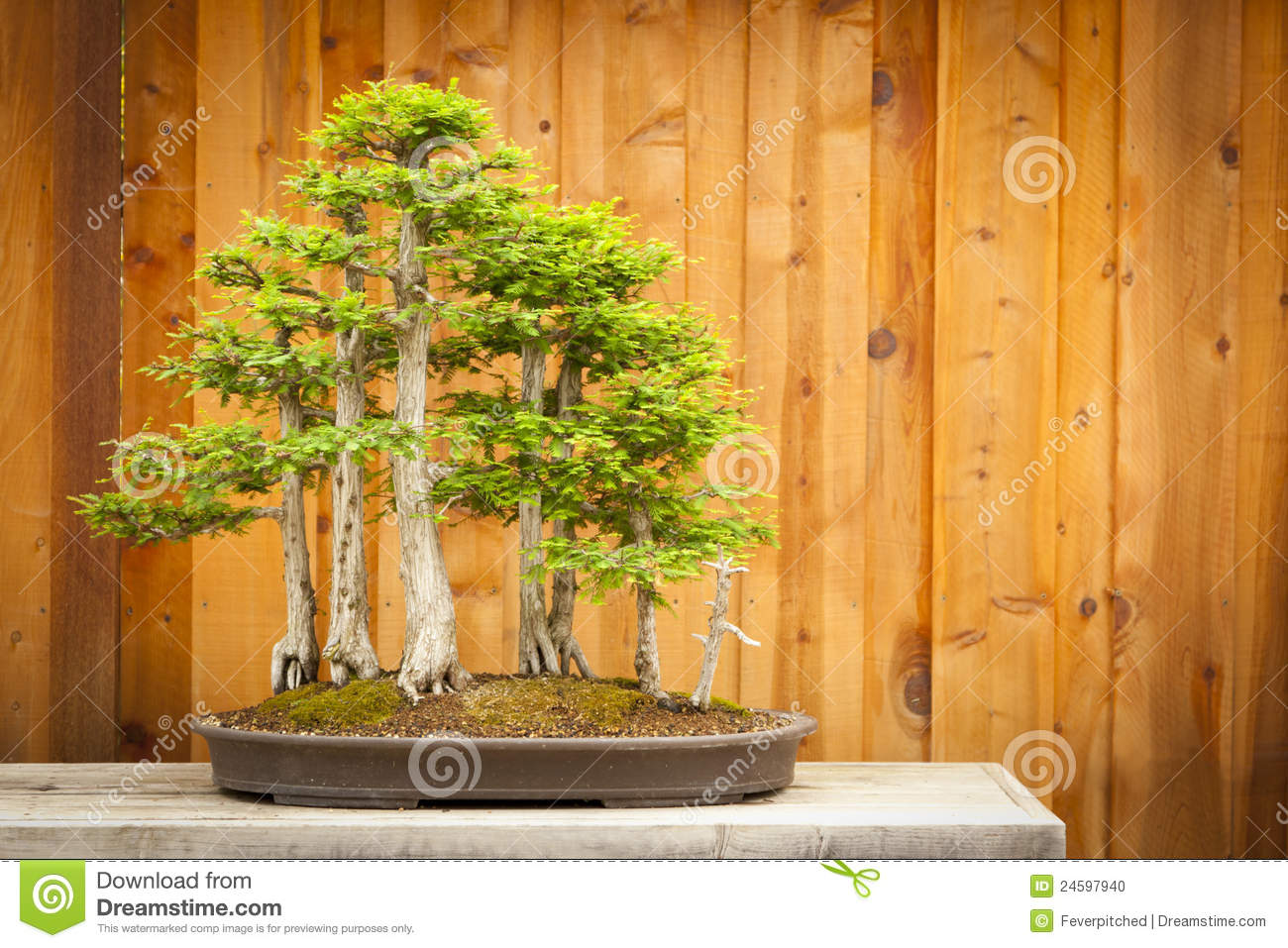 Bald Cypress Bonsai Tree Forest Against Wood Fence